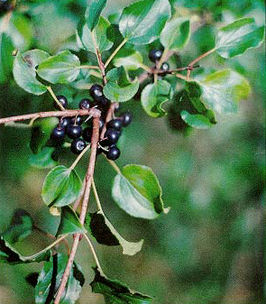 Rhamnus catharticus leaves and fruit.jpg