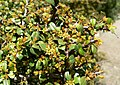 Rhamnus crocea 2.jpg