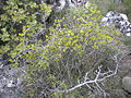Rhamnus saxatilis 2601.JPG