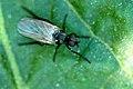 Rhamphomyia.sulcata.jpg
