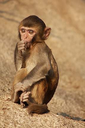Harlow exclusively used rhesus macaques in his experiments. Rhesus Macaque (Macaca mulatta) (5780783616).jpg