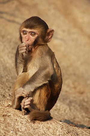 Harry Harlow - Harlow exclusively used rhesus macaques in his experiments.