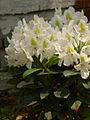 Rhododendron 'Calsap' RPO.jpg