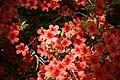 Rhododendron Beacon 0zz.jpg