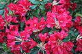 Rhododendron Elviira 5.JPG