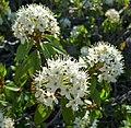 Rhododendron columbianum 1.jpg