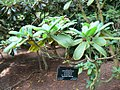 Rhododendron eclecteum.jpg