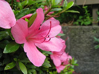 """<i>Rhododendron <span style=""""font-style:normal;"""">sect.</span> Tsutsusi</i> Group of shrubs"""