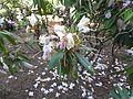 Rhododendron makinoi 02.JPG