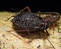 Rhopalosiphoninus ribesinus aptera.jpg