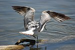 Ring-billed Gull, Lakeshore in Toronto, Ontario.jpg