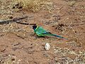 Ring-neck Parrot - Flickr - GregTheBusker.jpg
