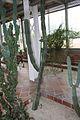 Ritterocereus Griseus & Mexico (1) (11982773454).jpg