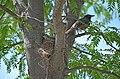 Robin guarding its nest (42817056081).jpg