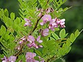 Robinia hispida var. fertilis (9008626963).jpg
