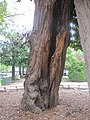 Robinier St-Julien-le-Pauvre trunk.jpg