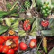 Rohdea japonica (Montage s3).jpg