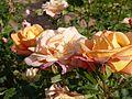 Rosa 'Lumière' in Jardin des Plantes de Paris 07.jpg