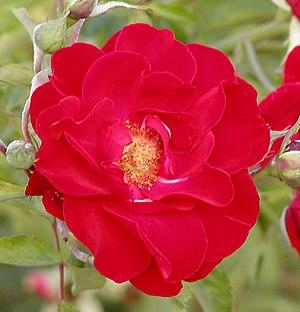 Rosa 'Alain' - Image: Rosa Alain