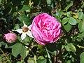 Rosa Louise Odier 2018-07-10 5305.jpg