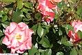 Rosa Passionate Kisses 0zz.jpg