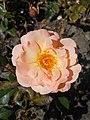 Rosa Rosemary Harkness 2018-07-16 6807.jpg