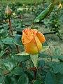 Rosa Rosemary Harkness 2019-05-29 4071.jpg