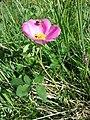Rosa gallica sl1.jpg