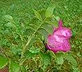 Rosa rugosa leaf (11).jpg