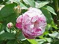 Rosa sp.144.jpg