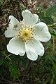 Rosa spinosissima inflorescence (37).jpg
