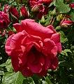 Rosarium Baden Rosa 'Bonn' Kordes 1950 02.jpg