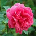 Rose L.D. Braithwaite L.D.ブレスウェイトゥ (4996071190).jpg