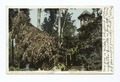Rose Tree at Cottage, Baldwin's Ranch, Pasadena, Calif (NYPL b12647398-67774).tiff