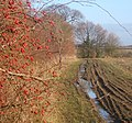 Rose hips and hedge side footpath - geograph.org.uk - 1070978.jpg