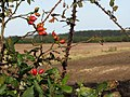 Rosehips in a hedgerow - geograph.org.uk - 570188.jpg
