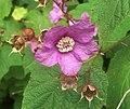 Rosenhallon (Rubus odoratus) 6859 (cropped).jpg