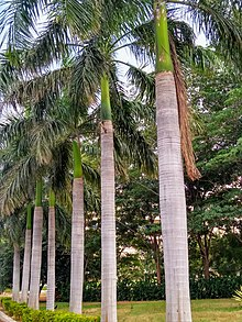 Rows of Royal Palm.jpg