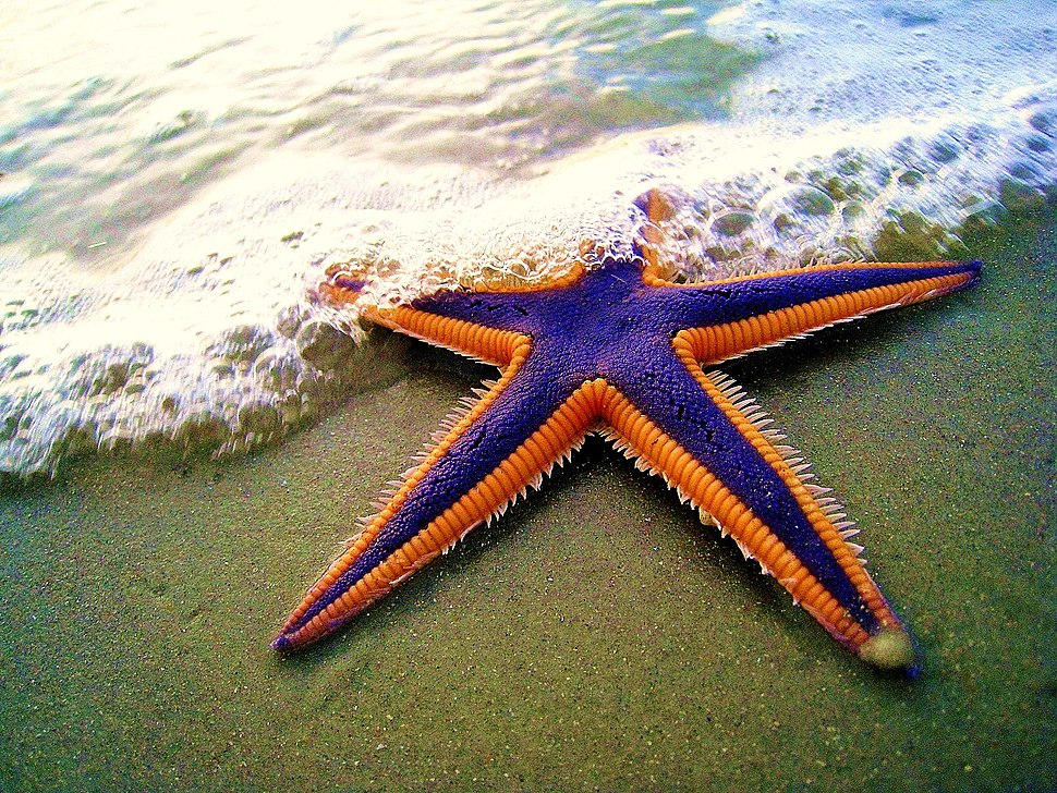 Royal starfish (Astropecten articulatus) on the beach