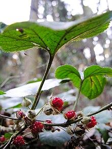 Rubus buergeri DSCN0574 a.jpg