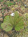 Rubus chamaemorus 2-eheep (5097369775).jpg