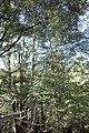 Rubus cissoides kz2.jpg