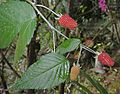Rubus glaucus, the Andean Raspberry - Flickr - Dick Culbert.jpg
