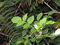 Rubus niveus - Mysore Rasp berry at Mannavan Shola, Anamudi Shola National Park, Kerala (17).jpg