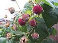 Rubus odoratus - Tuoksuvatukka, Rosenhallon, Purple-flowered raspberry C IMG 1978.JPG