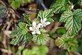 Rubus ursinus.jpg