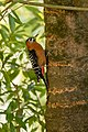 Rufous-bellied woodpecker.jpg