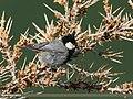 Rufous-naped Tit (Periparus rufonuchalis) (37732609632).jpg