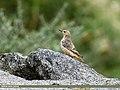 Rufous-tailed Rock-thrush (Monticola saxitilis) (31032739723).jpg