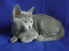 Russian Blue kitten.jpg